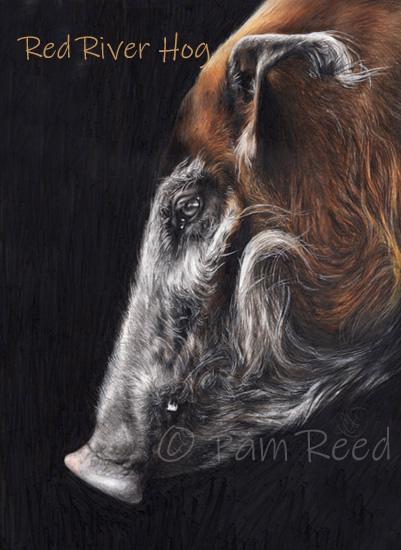 portrait of a Red River Hog